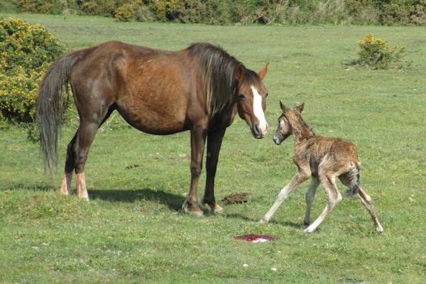 New Forest foal and mare