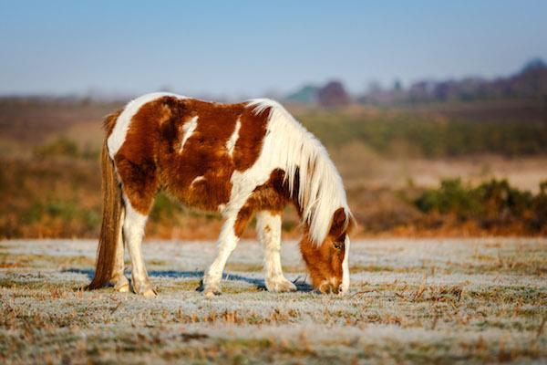 New Forest pony on a frosty day by Alex Kerslake