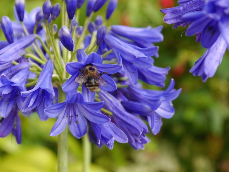 agapanthus for New Forest soil