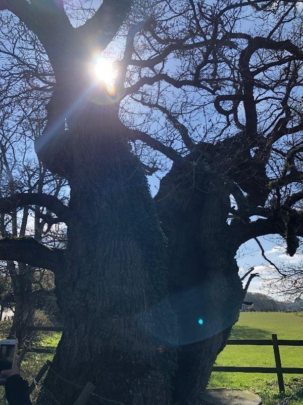 A beautiful ancient oak on our walking route on the Commoners Walk