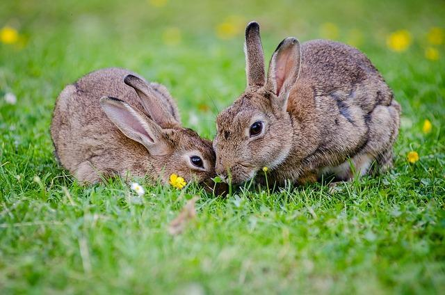 european rabbits playing on the lawn