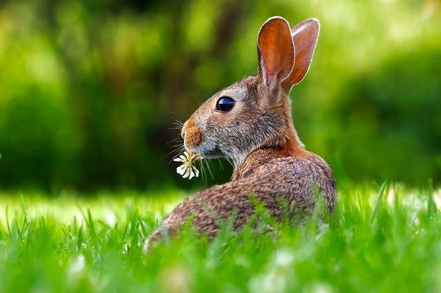 rabbit looking around with flower in mouth on the grass