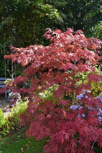 Beautiful red Acer tree - the colours of autumn in your garden
