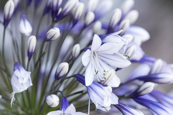 One weekend opportunity to see award-winning Agapanthus in Beaulieu
