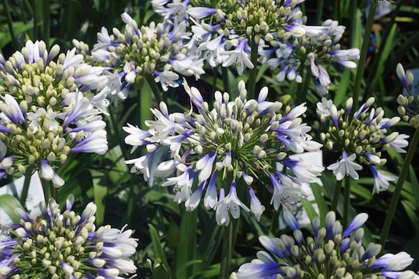Award-winning Agapanthus grown in the New Forest
