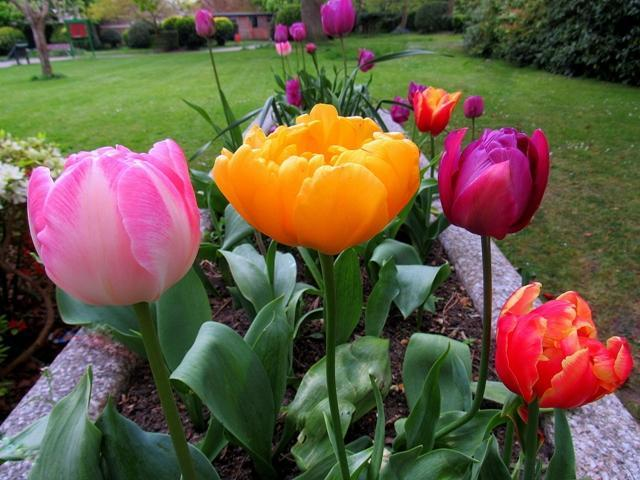 tulips in Woodside Gardens by Ali Lansley