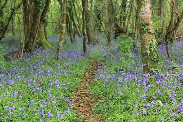 Bluebells Pondhead May 2017