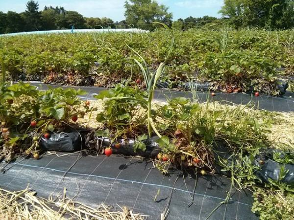 Pick your own strawberries at Goodalls Farm