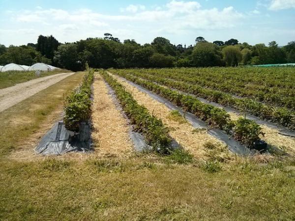 Delicious strawberries at Goodalls Farm in Lymington