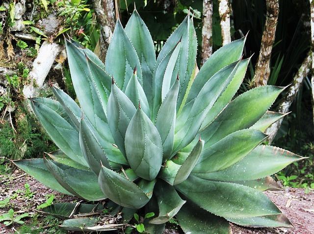 Giant Aloe Vera