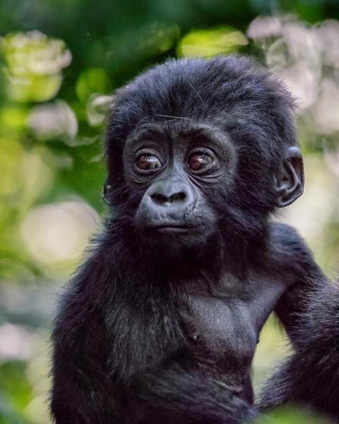 Dream Challenges - The gorilla adventure in Uganda 2022